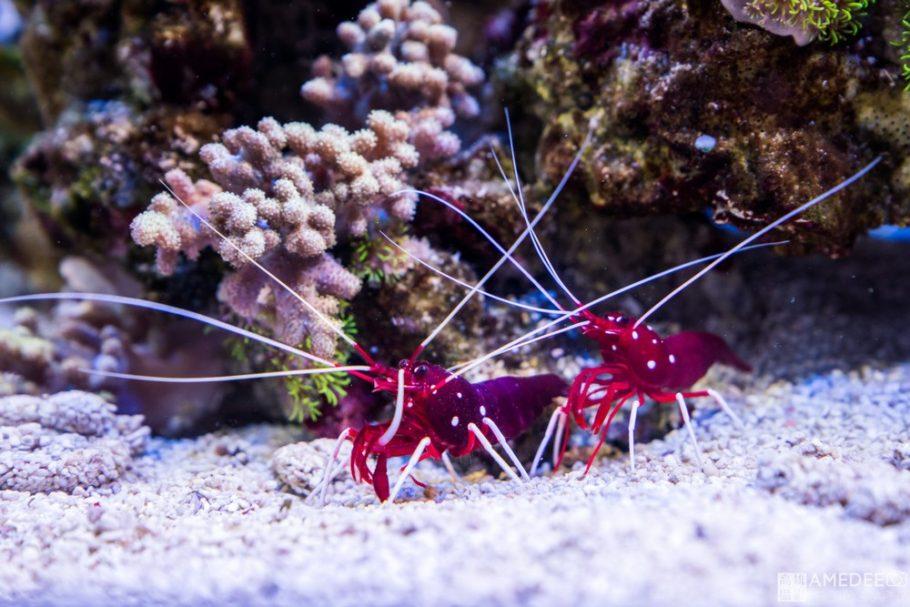 夏威夷蝦與珊瑚拍攝