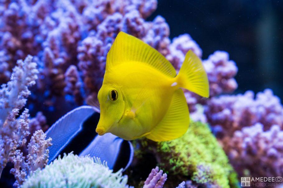 夏威夷魚與珊瑚拍攝